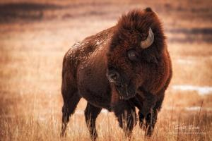 Photographing Kansas Elk and Bison at the Maxwell Wildlife Refuge